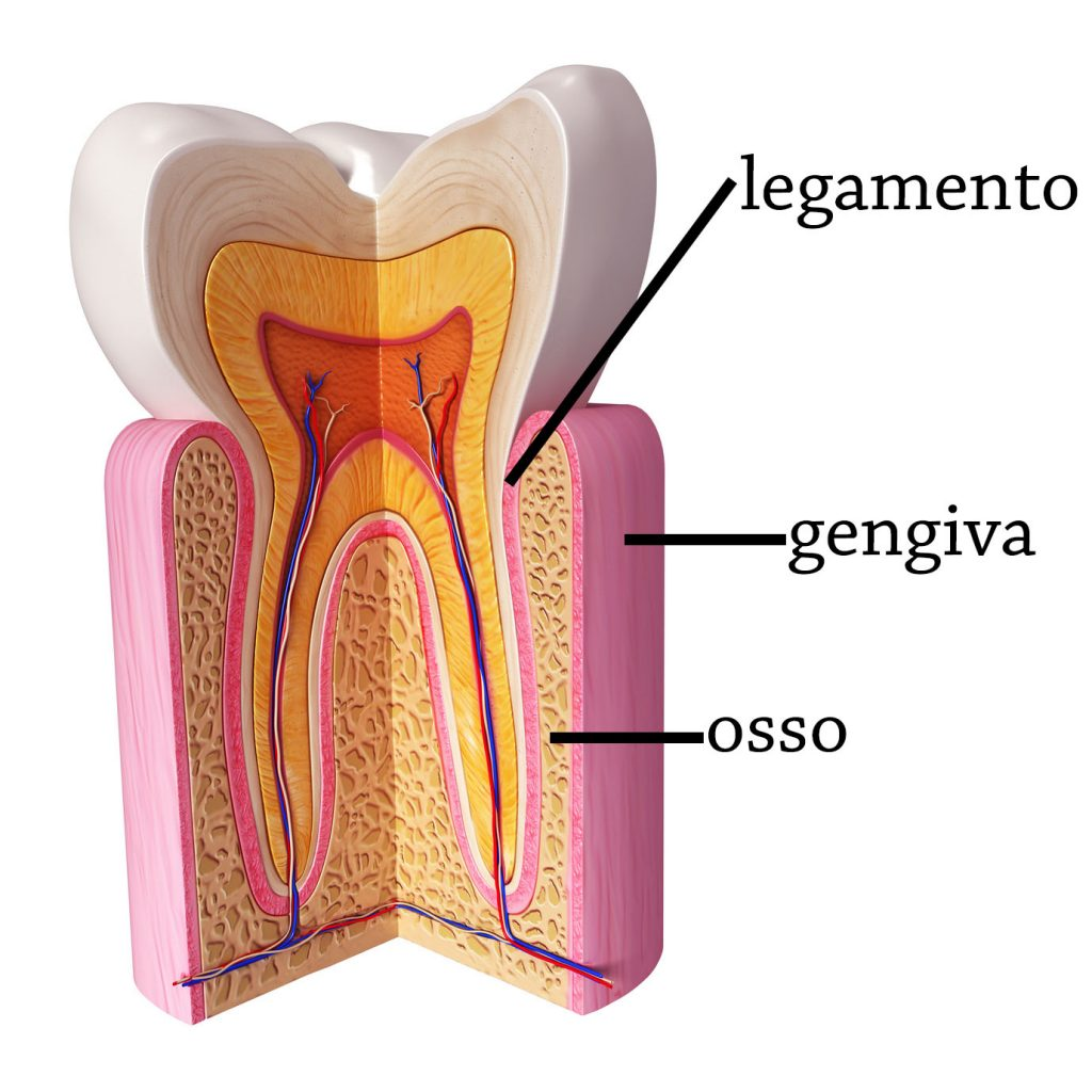 3D Illustration of teeth anatomy